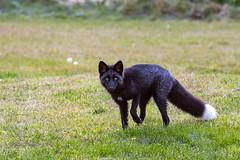 Black (Red) Fox (Dan King Alaskan Photography) Tags: blackfox redfox fox vulpesvulpes vixen wildlife wild interioralaska rare beautiful protectwildlife preservewilderness canon80d sigma150600mm