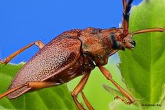 Longhorn Beetle, Cerambycidae (In Memoriam: Ecuador Megadiverso) Tags: andreaskay beetle cerambycidae coleoptera ecuador longhornbeetle focusstack