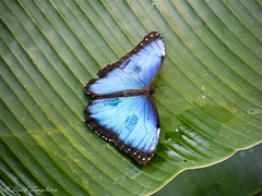 097 Butterfly House Blue Morpho (Awesome Image Maker NZ) Tags: 2010 butterfly butterflyhouse dunedin dunedinholiday flickr insect