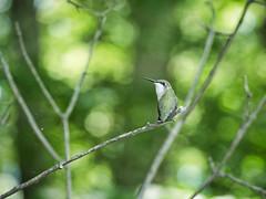 Mini-break (Wicked Dark Photography) Tags: wisconsin animal animals bird critter forest hummingbird kayaking nature paddling summer wildlife woods