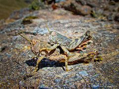 054 Crickets mating (Awesome Image Maker NZ) Tags: 2007 cobbvalley cricket flickr insect nelsontasman mating
