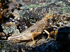 017 Cricket (Awesome Image Maker NZ) Tags: 2007 cobbvalley cricket flickr insect nelsontasman