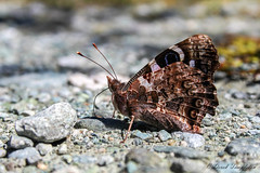 11 Butterfly (Awesome Image Maker NZ) Tags: 2015 butterfly fiordland flickr insect lakehowden mitsubishicantertrip southislandadventure