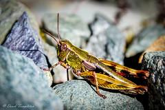 08 Grasshopper (Awesome Image Maker NZ) Tags: 2015 fiordland flickr grasshopper insect keysummit mitsubishicantertrip southislandadventure