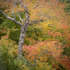 Deadwood (Kevin Tataryn) Tags: dead tree pine maple forest mountain alpine nikon d500 fall autumn colour leaf leaves foliage monttremblant quebec canada landscape nature 1755