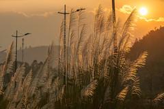 _MG_6919.1109.Cốc Lếu.Lào Cai (hoanglongphoto) Tags: asia asian vietnam northvietnam northernvietnam northeastvietnam landscape scenery nature vietnamlandscape vietnamscenery sunset sky redsky reed sedge flanksmountain canon canoneos5dmarkii canonef70200mmf28lisusm đôngbắc làocai thànhphốlàocai cốclếu phongcảnh thiênnhiên buổichiều hoànghôn bầutrời bầutrờimàuđỏ rừnglau sậy laocaiciti sườnnúi lau sun mặttrời