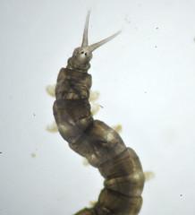 Snipe Fly Larva