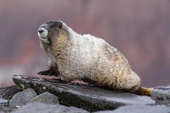 Hoary Marmot (markvcr) Tags: hoary marmot rodent nature mount rainier washington wildlife sunrays5 coth5