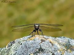 004 03Feb03 Rainbow Farm Dragonfly (Awesome Image Maker NZ) Tags: 2003 dragonfly flickr insect marlborough molesworth rainbowfarm