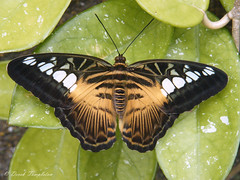 086 Butterfly House (Awesome Image Maker NZ) Tags: 2010 butterfly butterflyhouse dunedin dunedinholiday flickr insect