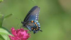Black Swallowtail  7620 (Paul McGoveran) Tags: blackswallowtail butterfly nature nikon500mmf4 nikond850 norfolkcounty sunrays5 coth5