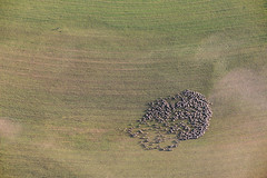 Swarm Of Sheep (Aerial Photography) Tags: by mfr wug 1ds20787 27092008 bavaria bayern braun deutschland farbe fotoklausleidorfwwwleidorfde fotoklausleidorfwwwleidorfaerialcom geislohe germany grafik grün landscapeandnature landschaft landschaftnatur landwirtschaft luftaufnahme luftbild neudorf p2 pappenheim schafe schafherde stimmung tier tiere tierhaltung aerial agriculture animal animalfarming animals brown color colour graphicart graphics green landscape landscapenature mood nature outdoor sheep sheepflock verde pappenheimlkrweisenburggun bayernbavaria deutschlandgermany