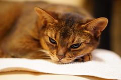 Lazy cat (DizzieMizzieLizzie) Tags: abyssinian aby dizziemizzielizzie portrait cat feline gato gatto katt katze kot meow pisica neko gatos chat ilce pose classic golden bokeh dof 2019 lizzie sony a7iii ilce7m3 fe 135mm f18 gm tired girl sel135f18gm lazy