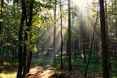 Lightshow (Zoom58.9) Tags: trees sun sunshine strains leaves forest nature outside green europe germany niedersachsen bäume sonne sonnenschein stämme blätter branches zweige wald natur grün europa deutschland sony sonydscrx10m4