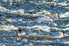 Gimme That! (sibnet2000) Tags: merganser seagull fight wildlife birds waterbirds waterbird yakimariver easternwashington