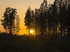 DSC07520 (fotolasse) Tags: spider spindlar blommor flowers sun sol solnegång skog wood sweden sverige småland tingsryd