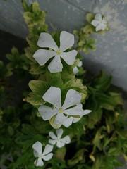 #Frangipani #Pulmeria #White #Flowers #Nature (thetahirzafar) Tags: nature white pulmeria frangipani flowers