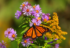 Monarch Butterfly (ashockenberry) Tags: ashleyhockenberryphotography ecosystem reserve travel tourism habitat majestic nature naturephotography natural native forest flowers aster purple butterfly monarch field marsh wildlife wildlifephotography wild wilderness ontariowildlife