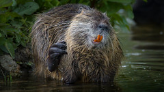 a Nutria showing their teeth (Franck Zumella) Tags: lake water rat eau castor coypu ragondin myocastor red orange cold animal swim tooth fun rouge nager wildlife teeth lac dent froid nutria funny god song no human sing laugh oh ok non omg nonono rire behaviour amusant sony singer tamron a7 chanson chanter chanteur a7s 150600