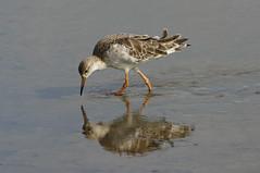 K32P1881c Ruff, RSPB Titchwell, August 2019 (bobchappell55) Tags: norfolk rspb titchwell wild bird nature wildlife wader ruff philomachuspugnax