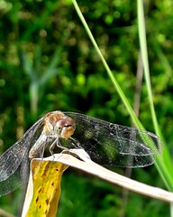 Balancing in the wind (kuratormkl) Tags: netherlands zeeland europe beauty best nationaalgeographic travel prettyphotos relax art green beautiful autumn macro dragonfly insects glare wind