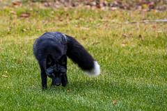 Black Fox (Dan King Alaskan Photography) Tags: blackfox silverfox redfox fox vulpesvulpes wildlife wild protectwildlife preservewilderness interioralaska alaska black white ebony canon80d sigma150600mm