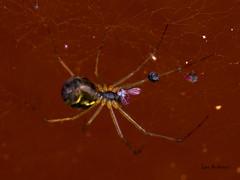 DSC07592 (fotolasse) Tags: spider spindlar blommor flowers sun sol solnegång skog wood sweden sverige småland tingsryd
