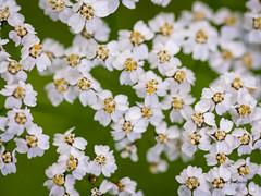 DSC07543 (fotolasse) Tags: spider spindlar blommor flowers sun sol solnegång skog wood sweden sverige småland tingsryd