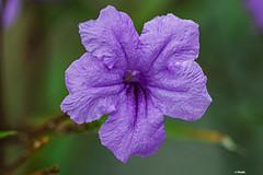MACRO DI UN FIORE (cune1) Tags: macro fiori flowers natura nature africa costadavorio lagunesdegrandbassam
