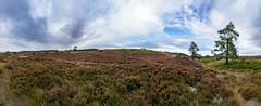 Heather at the Moor (Jesper Lund Hansen) Tags: commonheather ling lyng outdoors nature panorama callunavulgaris