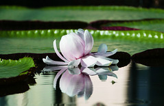 Amazon waterlily (Queen of the Swarm) Tags: waterlily amazonwaterlily botanicgarden nature flower pinkwaterlily flora