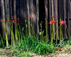 Lycoris radiata (shinichiro*) Tags: 20190925dsc4919 2019 crazyshin nikon1v3 v3 1nikkorvr70300mmf4556 september autumn flower saitama kinchakuda hidaka japan jp 彼岸花 48812714467 7476799 201910gettyuploadesp
