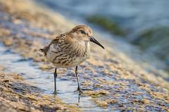 Dunlin (Glenn.B) Tags: farmoorreservoir nature oxfordshire wildlife dunlin wader bird avian