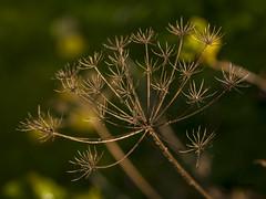 DSC07582 (fotolasse) Tags: spider spindlar blommor flowers sun sol solnegång skog wood sweden sverige småland tingsryd