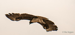 20190820 IMG-1060476 DMC-G85 (scarlettvixxen007) Tags: eagleeyesafaris pungwe brownsnakeeagle