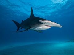 Final Hammer B(e)low (altsaint) Tags: 714mm bahamas gf1 hammerhead hammerheadshark panasonic teeth predator shark underwater wideangle