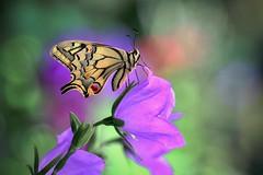 Garden magic (sylviafurrer) Tags: schmetterling schwalbenschwanz swallowtail butterfly garten garden blume flower bokeh ngc npc