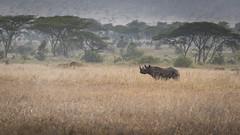 Here I am (nhoremans1969) Tags: tanzania rhionocerous endangered safari serengeti big5 yellow dryseason