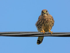 Kestrel on a wire (Pendlelives) Tags: kestrel wire landed perched bird prey smallest talons yellow ball grove park colne laneshawbridge nature wildlife countryside birds ornithology pendle pendlelives nikon p1000 clarity vibrant vibrance background animals colours colour color feathers uk british species