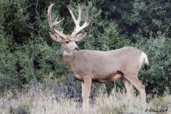 DSCN5534 mule deer buck (starc283) Tags: starc283 deer mountain forest flickr flicker rut mule buck muley nature natures finest watcher naturesfinest naturewatcher