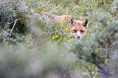 Vulpes vulpes - Vos @ Amsterdamse Waterleidingduinen (WvB Photography - The Sky Is The Limit) Tags: weslyvb weslyvanbatenburg wvbphotography sigma150500oshsm sigma pentax pentaxk3 k3 awd amsterdamse waterleidingduinen nature dunes 2019 vulpes rode vos red fox animal planet