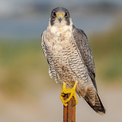 At what point does one start to get nervous... (Kevin E Fox) Tags: peregrinefalcon falcon stoneharbor stoneharborpoint newjersey nj bird birdwatching birding birds birdphotography birdofprey raptor nature nikond500 nikon sigma150600sport sigma shorebirds shorebird