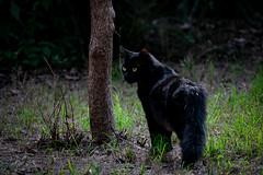 ¿Gato salvaje, o mini pantera negra?  (Wild cat, or mini black panther?) (munover) Tags: gato animal