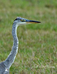 Neuf-Marché - Haute Normandie - France (South West Unicorn Photography) Tags: faune heron renard animaux nature