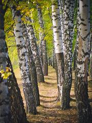 Birch grove (banagher_links) Tags: olympus omd em10 mark iii mft micro 43 russia zaraysk landscape country