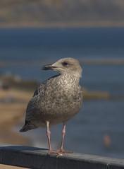Immature Herring Gull (Dr Nigel) Tags: lymeregis dorset england nature wildlife bird gull herringgull canon eos 60d sea
