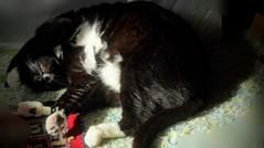 Zzzzz  --  1090441~2 (mshnaya ☺) Tags: pet black cat blackwhite feline chat kitty tuxedo neko katze kittie gato 1001nights 猫 katz relax sleep