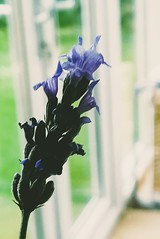 Lavender (daveandlyn1) Tags: lavender flower depthoffield dof macro closeup pralx1 p8lite2017 huaweip8 smartphone psdigitalcamera cameraphone indoors