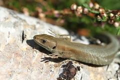 Common Lizard - Epping Forest. (ChristianMoss) Tags: viviparous lizard zootoca vivipara reptile eppingforest common outside