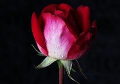 Wet Rose (Michael Schönborn) Tags: nx500 samsung nx50200f456 focusstacking stacked rose closeup makro macro red beautiful plant